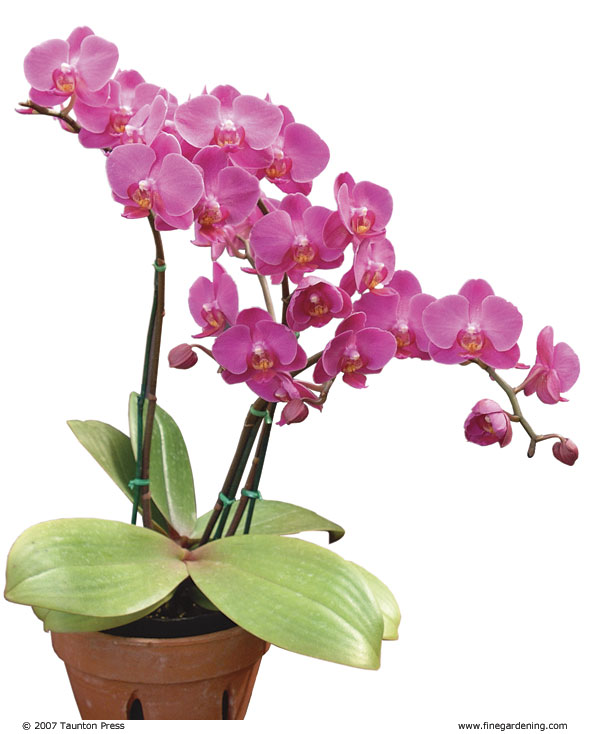 best orchid house plants. Success with Orchids Indoors  These prized plants prefer filtered light fluctuating temperatures and not too much water FineGardening