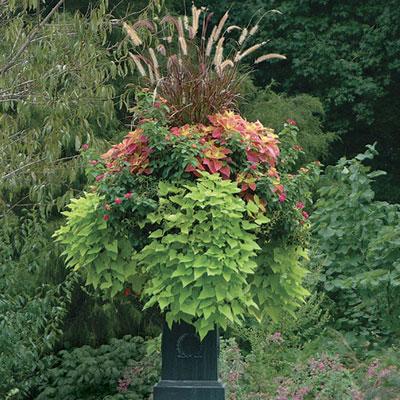 Thrillers fillers spillers finegardening for Good filler plants for landscaping