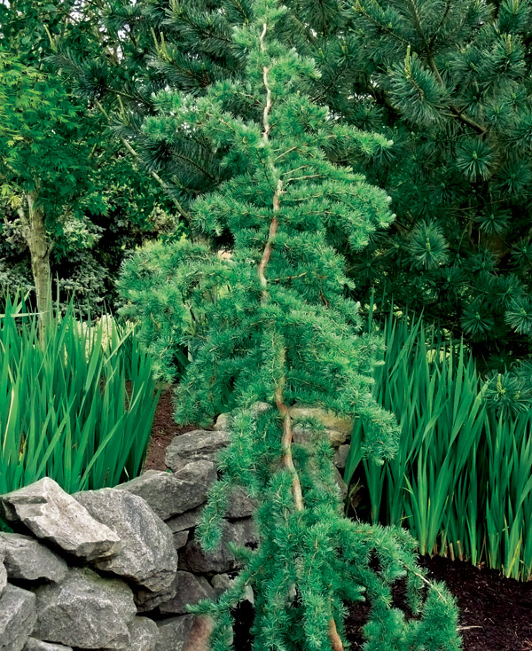 Trees for tight spaces finegardening for Unusual trees for small gardens