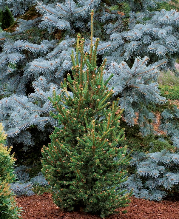 Trees for tight spaces finegardening for Slender trees for small spaces