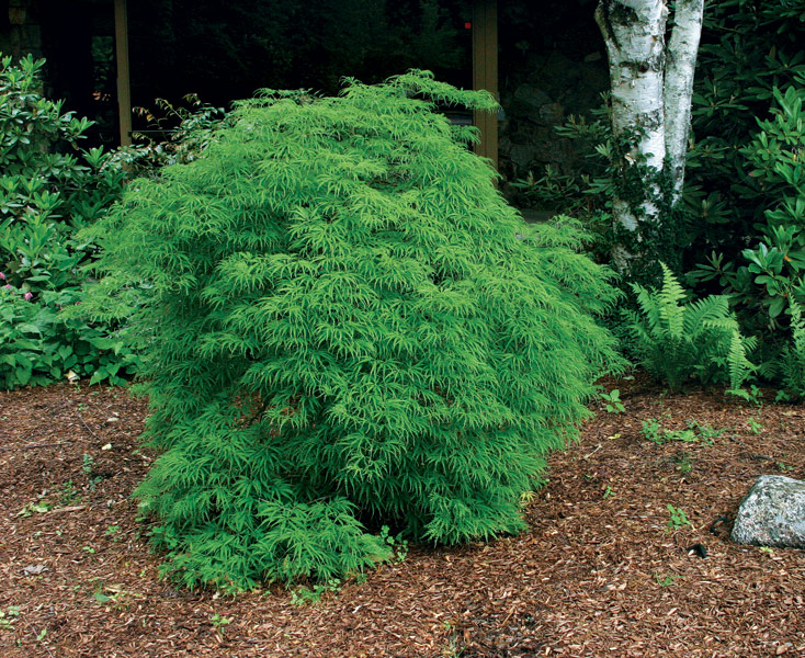 Trees for tight spaces finegardening for Small sized evergreen trees
