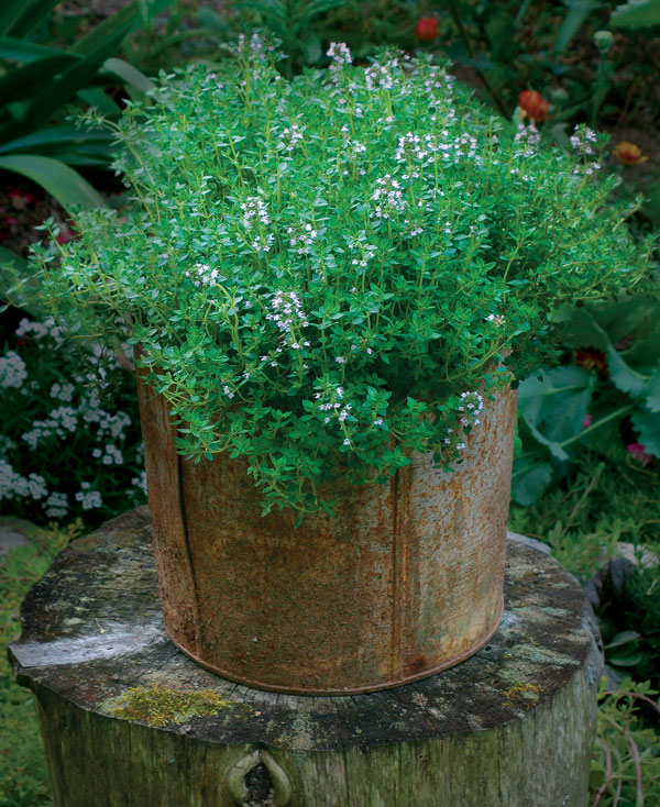 Lemon thyme is at its best in tight spaces