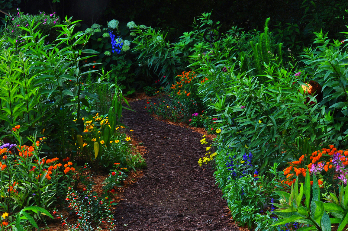 The Beautiful Orange Blossoms Of Butterfly Weed (Asclepias Tuberosa) Are  Wonderful For Lining My Path And Are A Larva Food Source For The Monarch  Butterfly.