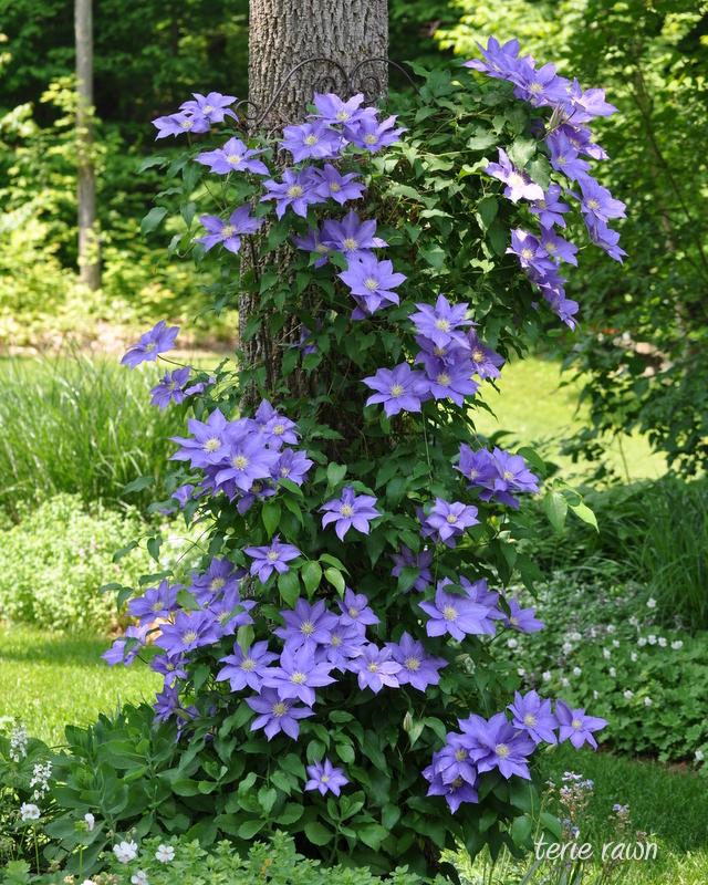 Clematis Trellis Ideas Part - 42: More Clematis From Terieu0027s Garden In New York