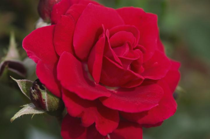 Simple Rose Garden: Beyond Knockout. The Next Generation Of Garden Roses. Part