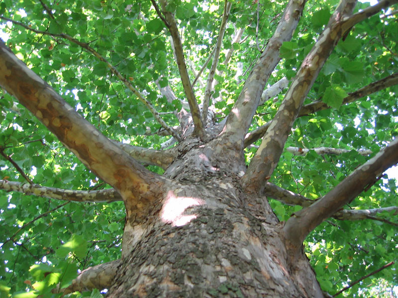 Fast-growing Trees to Avoid & Fast-growing Trees to Avoid - FineGardening