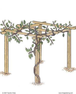 how to train wisteria into a tree