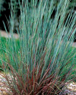Native grasses finegardening for Small ornamental grasses for sun