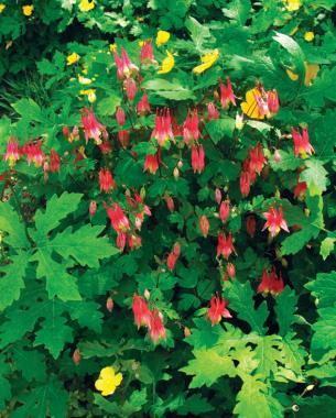 Petite Perennials For Shade. U0027