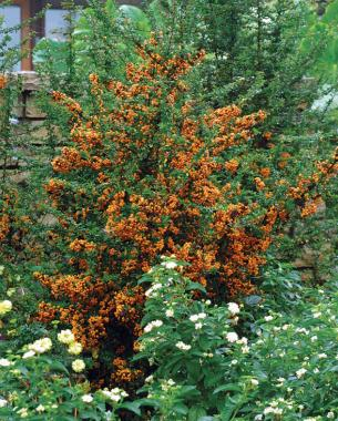Northern Bayberry Fall Color
