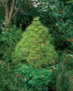 Conifers for shade finegardening for Specimen trees zone 5