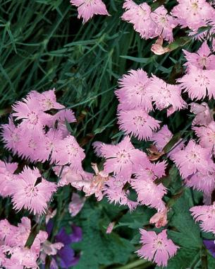 Flowering ground covers finegardening for Pink flower perennial ground cover