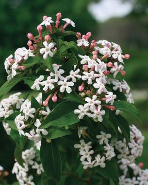 Fragrant Plants For Pathways Finegardening