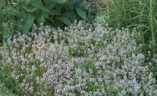 Thyme the fragrant ground cover finegardening for Pink flower perennial ground cover