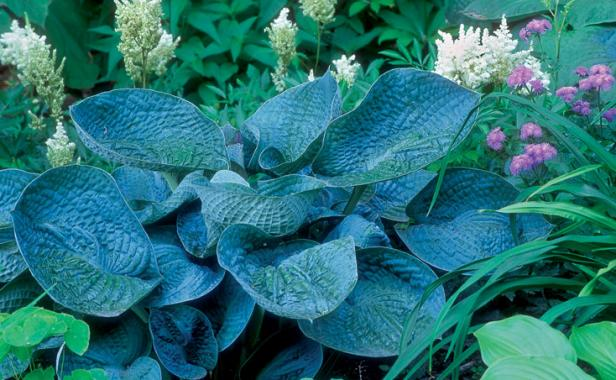 Designing With Hostas