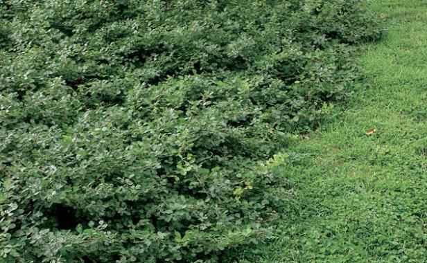 Shrubs for slopes finegardening for Low growing low maintenance shrubs
