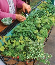 Charmant The Shady Window Box Includes Four Kinds Of Mint (pineapple, Spearmint,  Peppermint, Corsican Mint Ground Cover), Chervil, Alpine Strawberries,  Sorrel, ...
